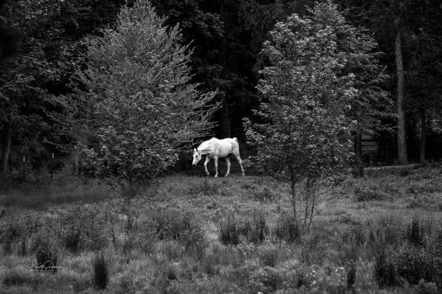 white_horse1-scottgipson